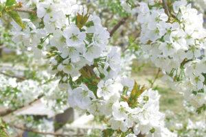 東根市「さくらんぼの花」