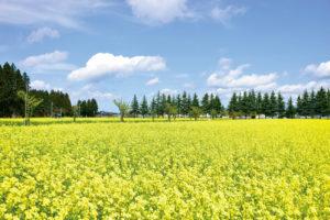 新庄市「新庄市エコロジー ガーデンの菜の花」