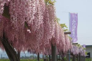 鶴岡市「ふじの花まつり」